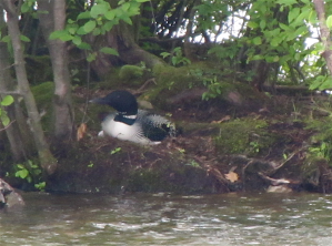 Nesting adult from June 18, 2012 report
