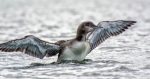 loon chick 2 41