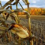 cornfield 2
